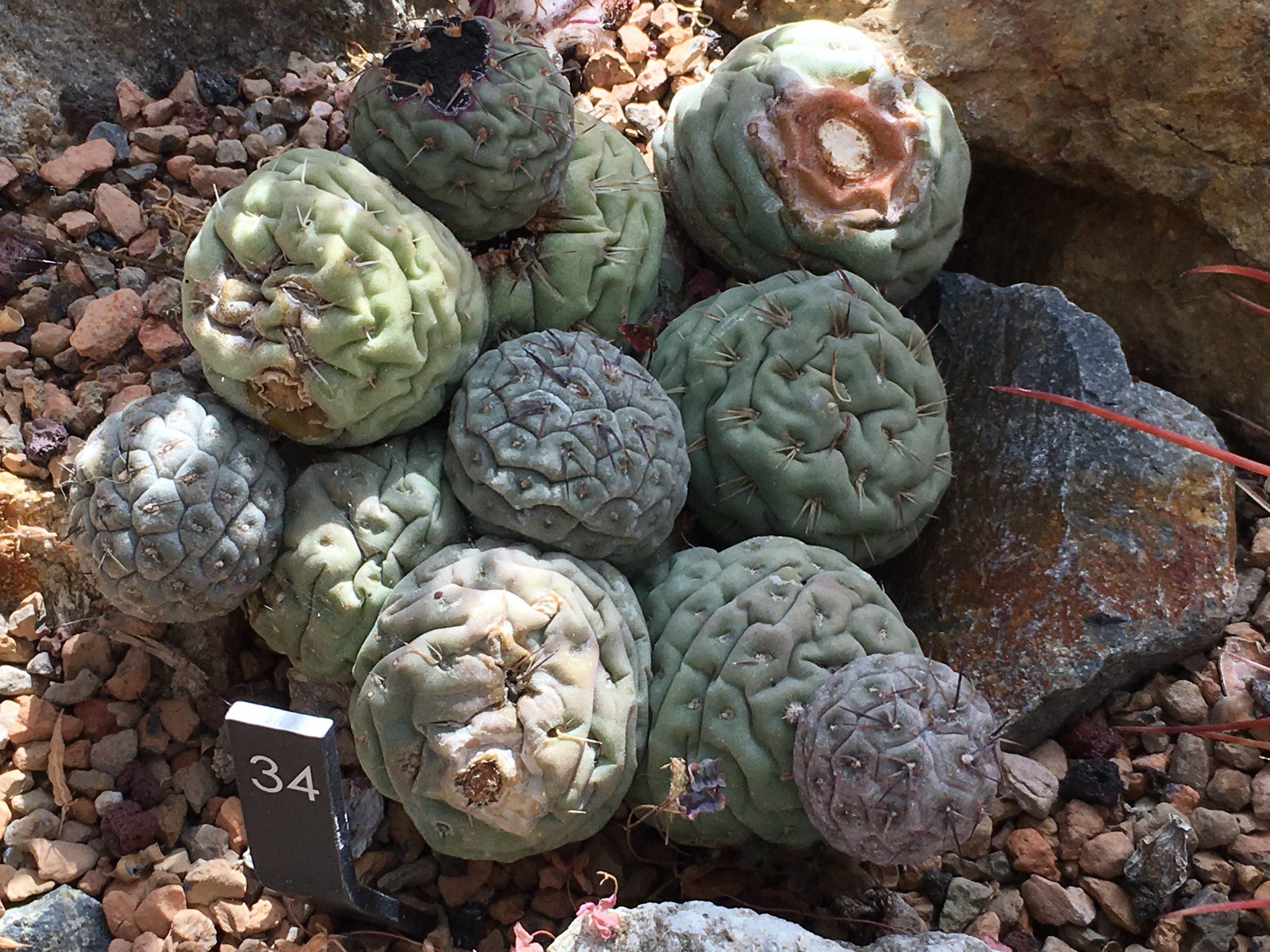 Tephrocactus geometricus deshidratado