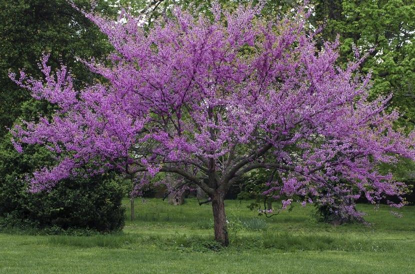 Conoce cuales son los rboles ornamentales que pueden - Arboles ornamentales para jardin ...