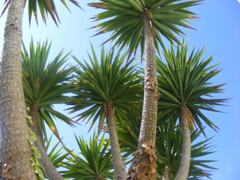 Pie de elefante la planta m s decorativa y resistente for Planta yuca exterior