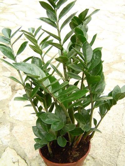 Zamioculca en maceta, una estupenda planta de interior