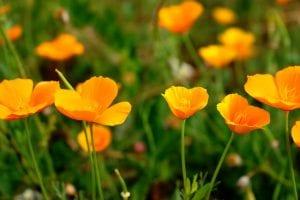 Amapolas californianas en flor