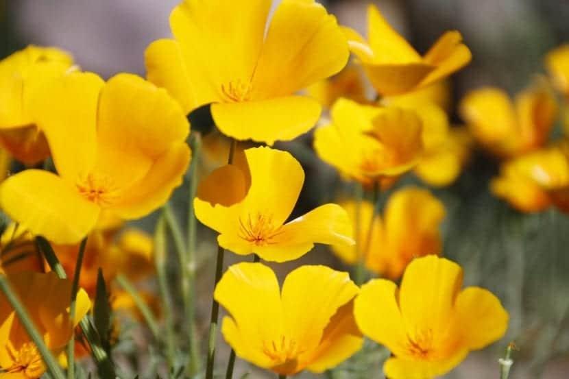 Amapolas de California con flores amarillas