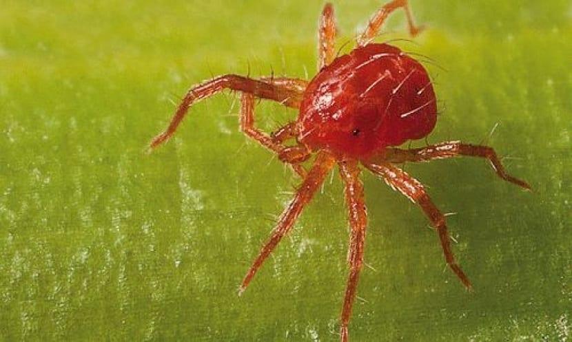plaga de la araña roja