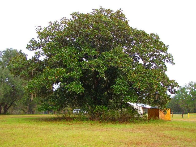 Árbol de Magnolia grandiflora