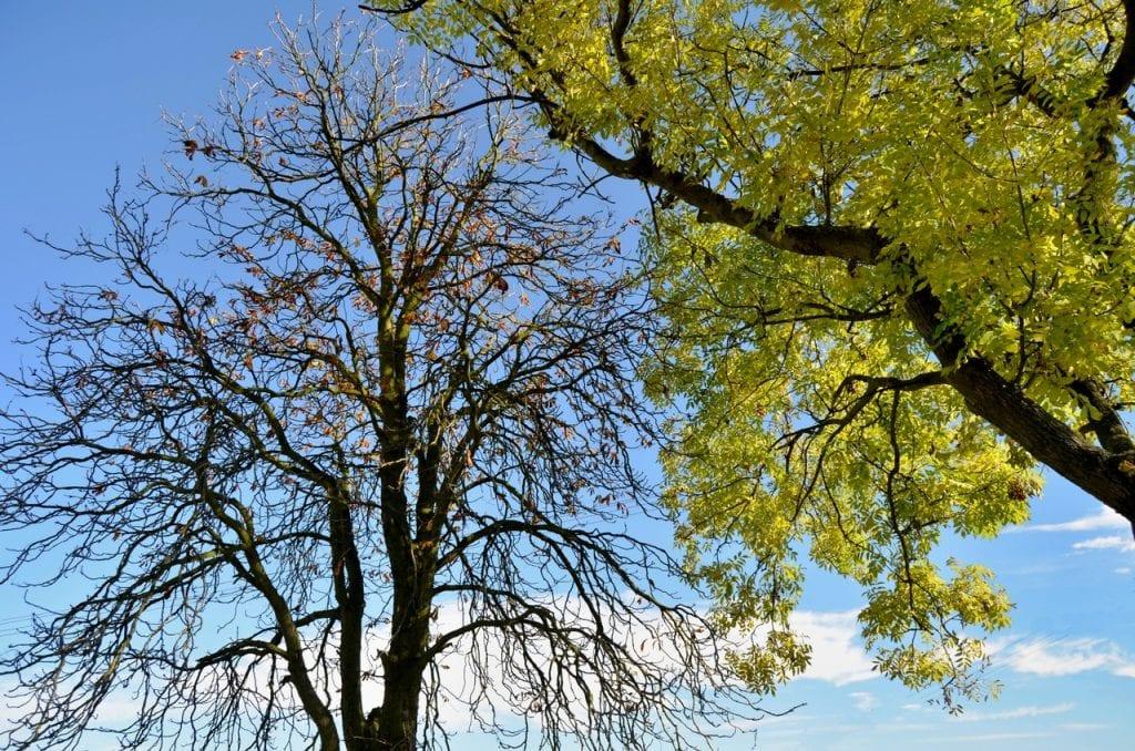 Los árboles caducos pierden todas las hojas en algún momento del año