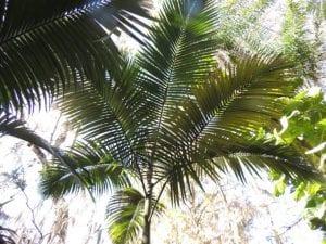 Corona de hojas de la Archontophoenix maxima