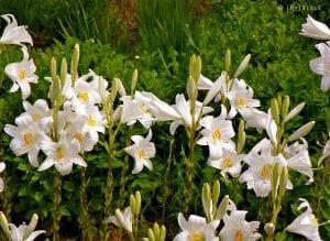es una planta muy llamativa que tiene flores espectaculares