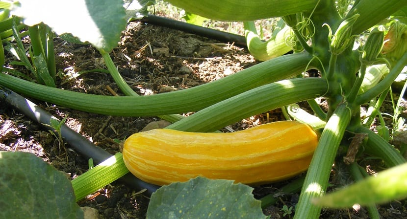 calabacin amarillo siembra