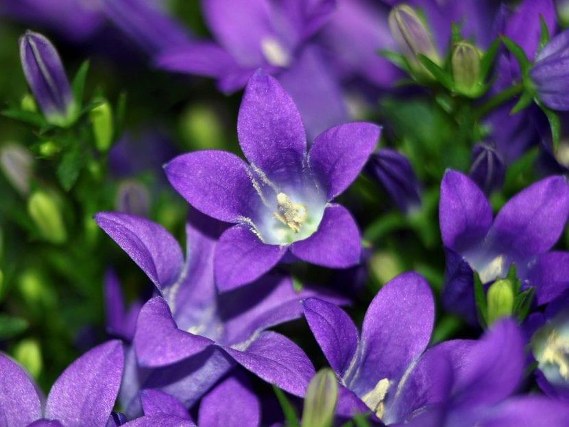 Campanula en flor