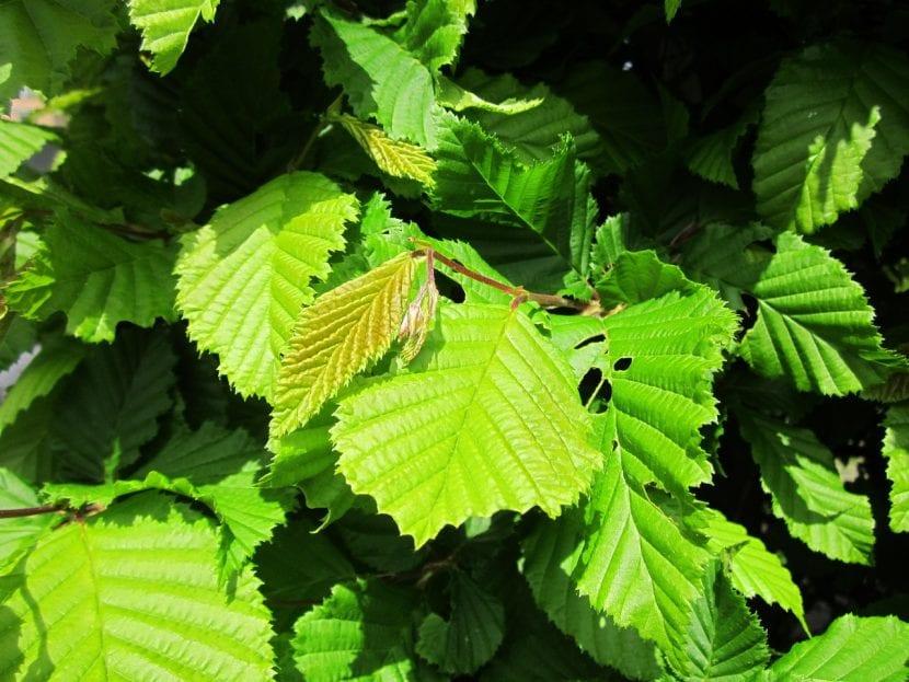 Hojas de Carpinus betulus