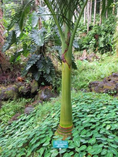 Detalle del tronco Carpoxylon macrospermum joven