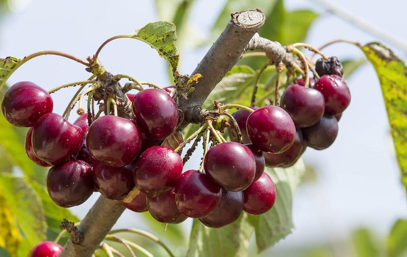 cultivar cerezas