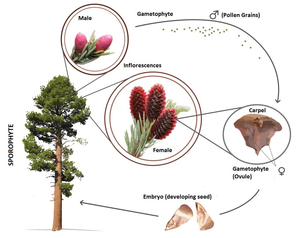 El ciclo de las gimnospermas