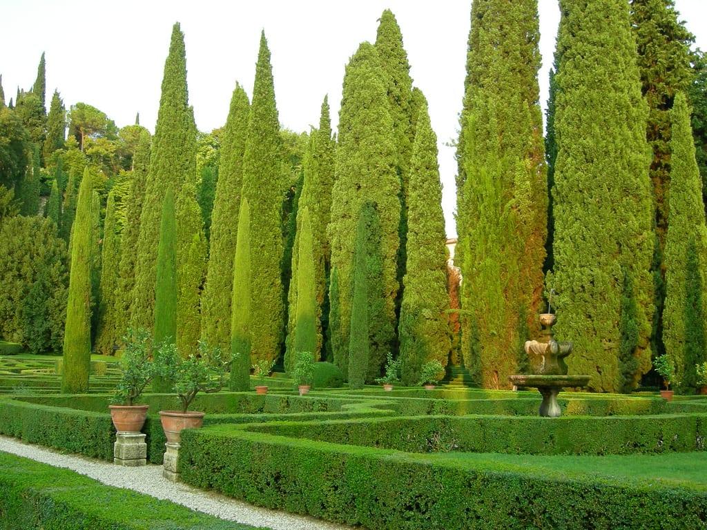 Cipr s com n la con fera m s adaptable for Tipos de pinos para jardin fotos