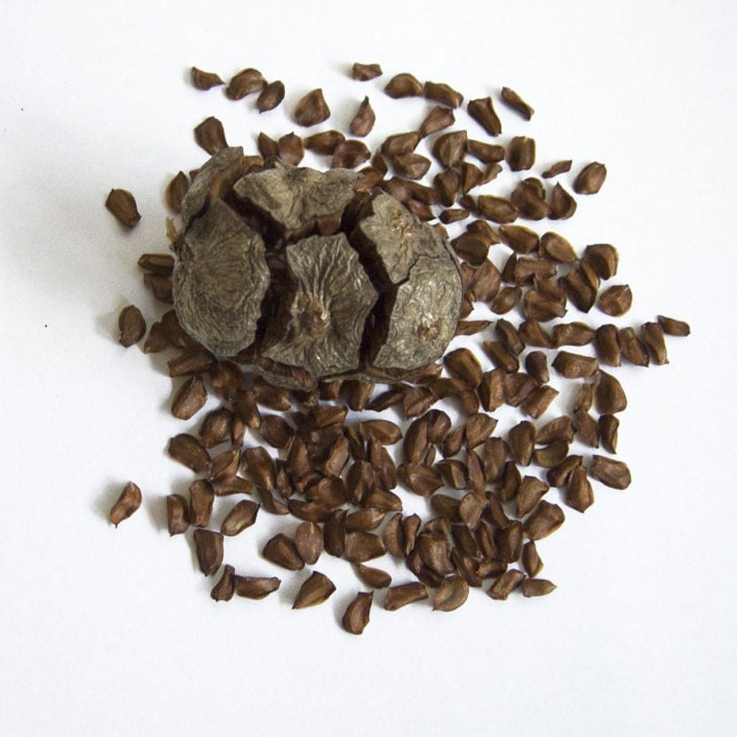Fruto y semillas del ciprés común