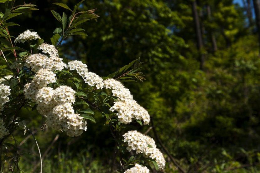 Planta de Corona de Novia en flor