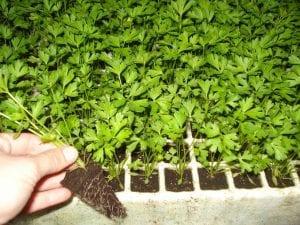Como cultivar apio