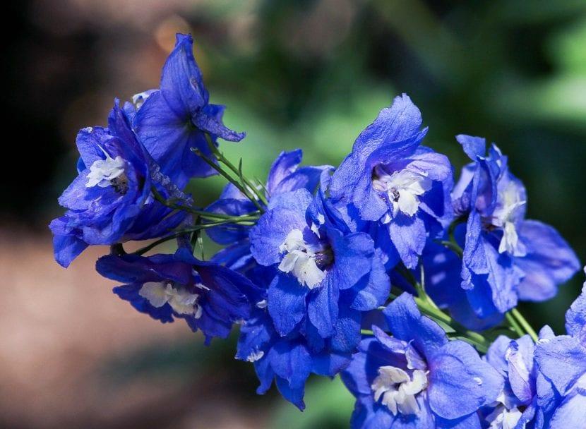 Flores de Delphinium