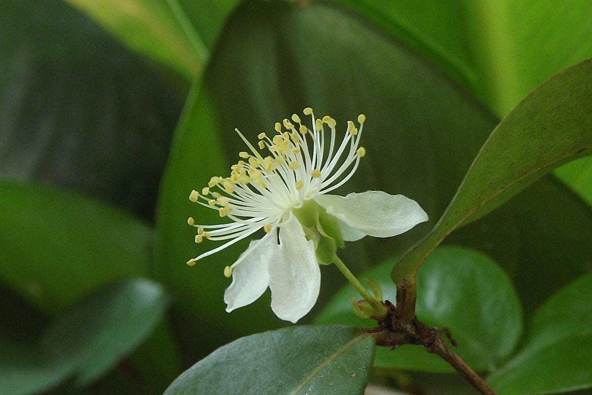 La flor de la pitanga es blanca