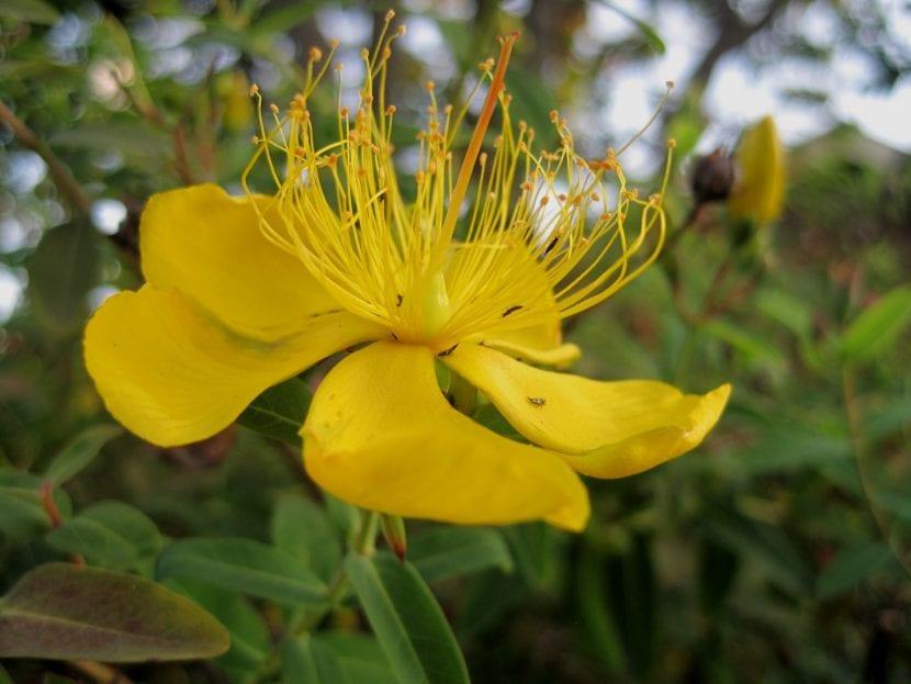 Flor de Hypericum