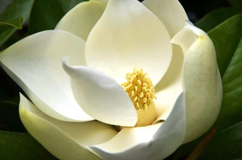 Flor de Magnolia grandiflora