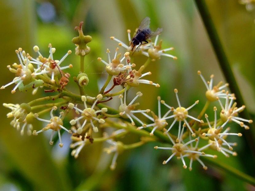 Flores del lichi