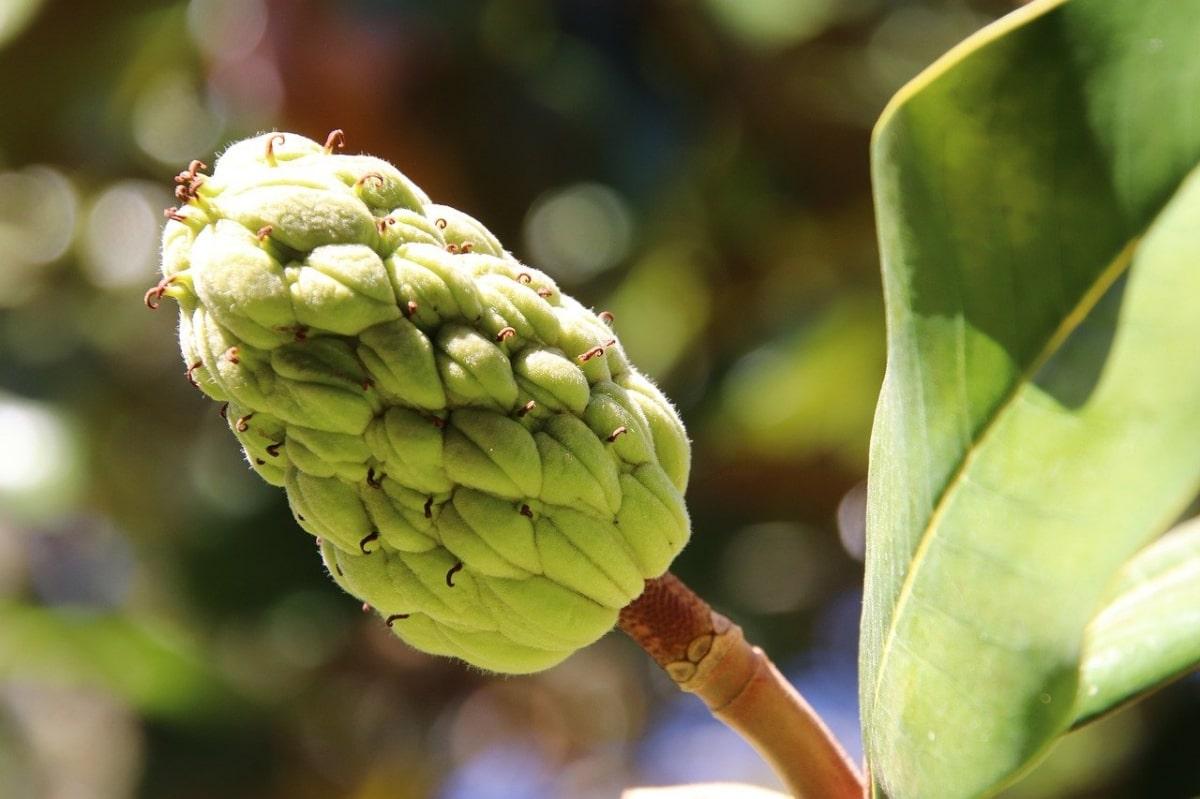 El fruto del magnolio es una infrutescencia
