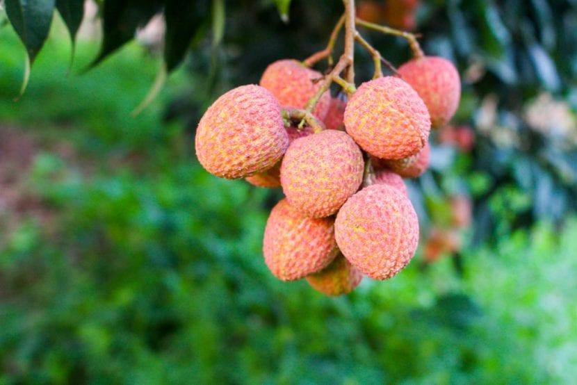 Frutos del lichi