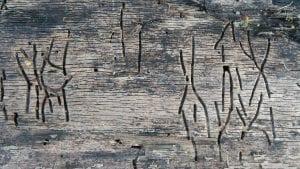 Túneles hechos por el gusano de la madera