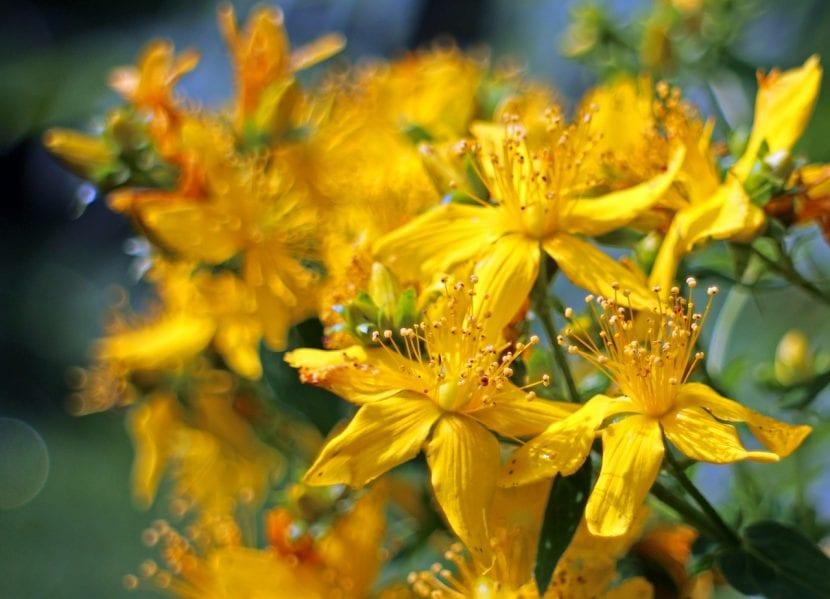 Planta de Hierba de San Juan en flor