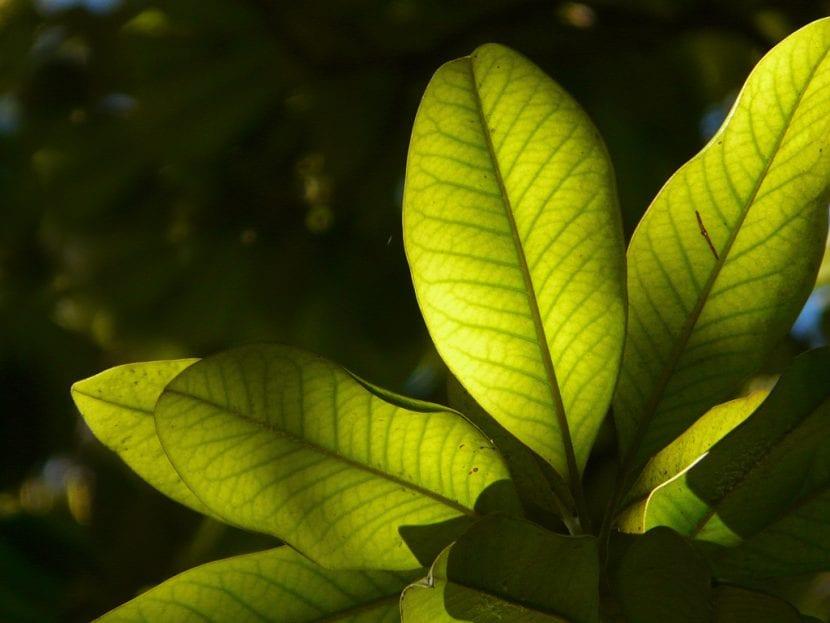Hojas de Magnolia grandiflora