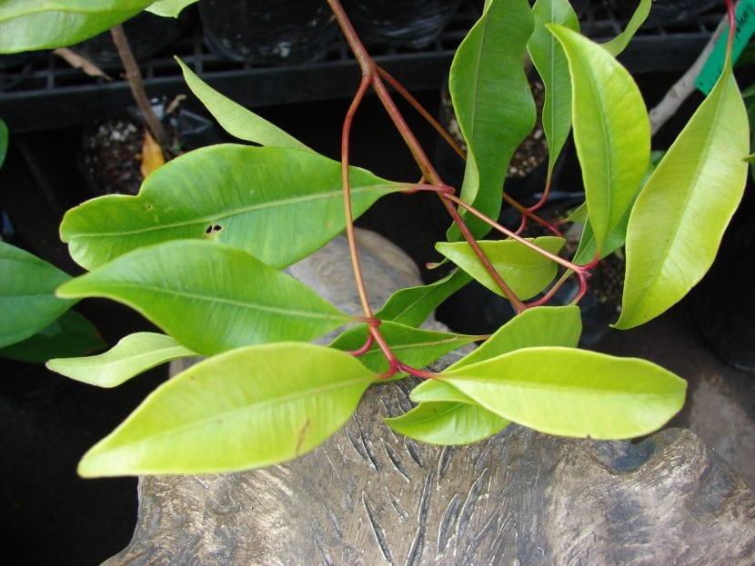 Hojas de Syzygium aromaticum