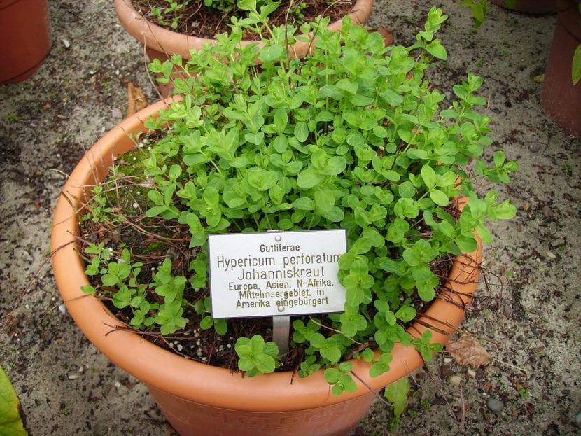 Planta de Hypericum en maceta