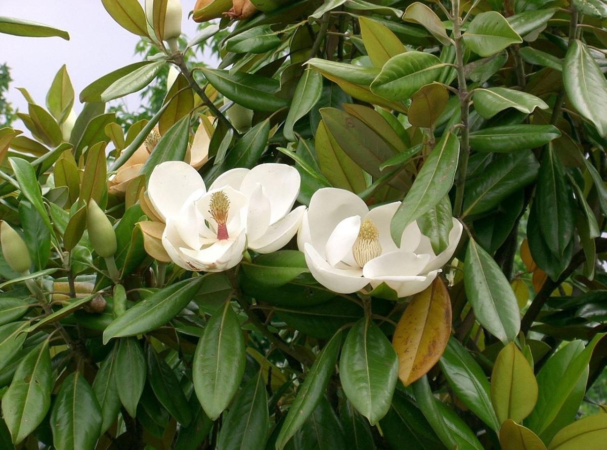El magnolio es un árbol de flores blancas