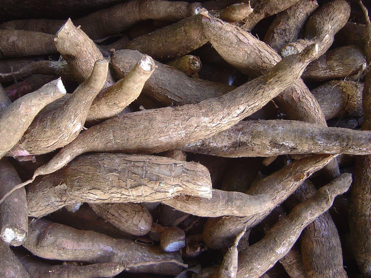 La mandioca es un tubérculo comestible