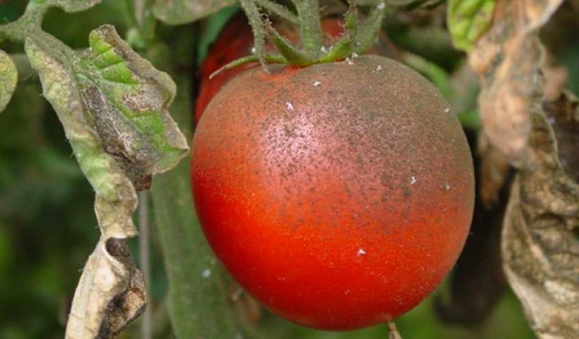 mosca blanca en tomates