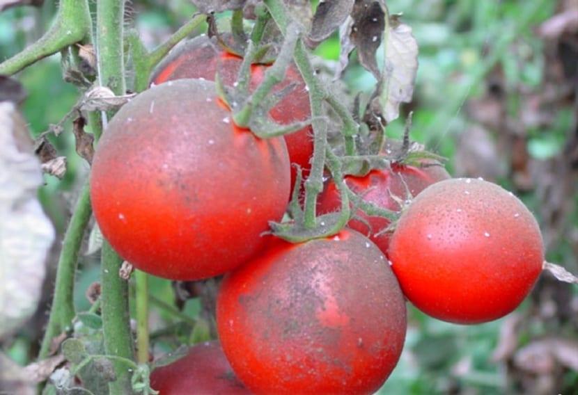 la mosca blanca ataca al tomate