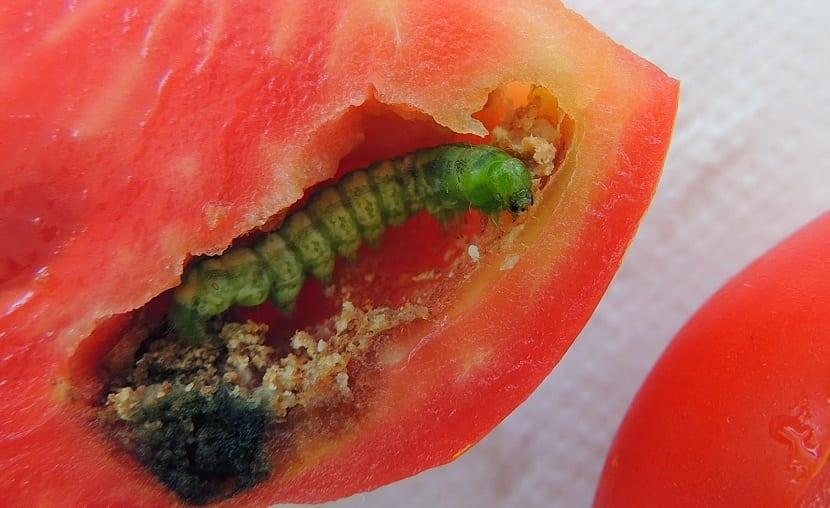 oruga en el tomate