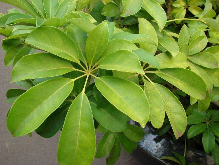 Planta de Schefflera arboricola