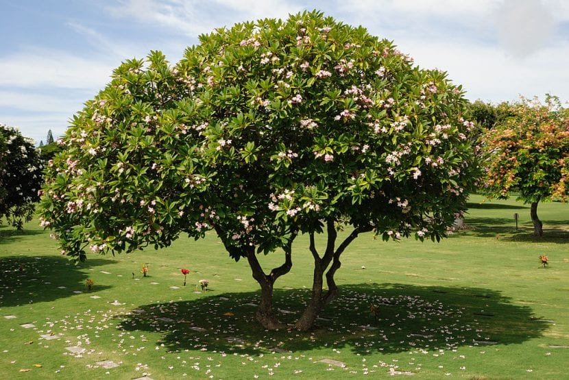Árbol de Plumeria