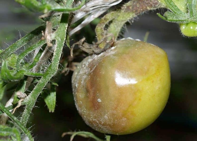 podedumbre en el tomate