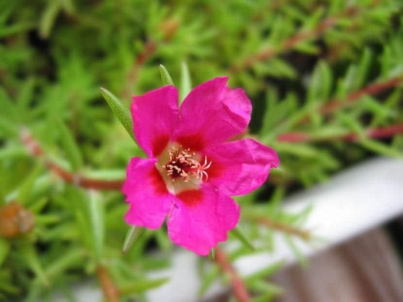 Portulaca grandiflora en flor