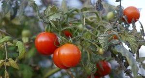 pulgones en los tomates