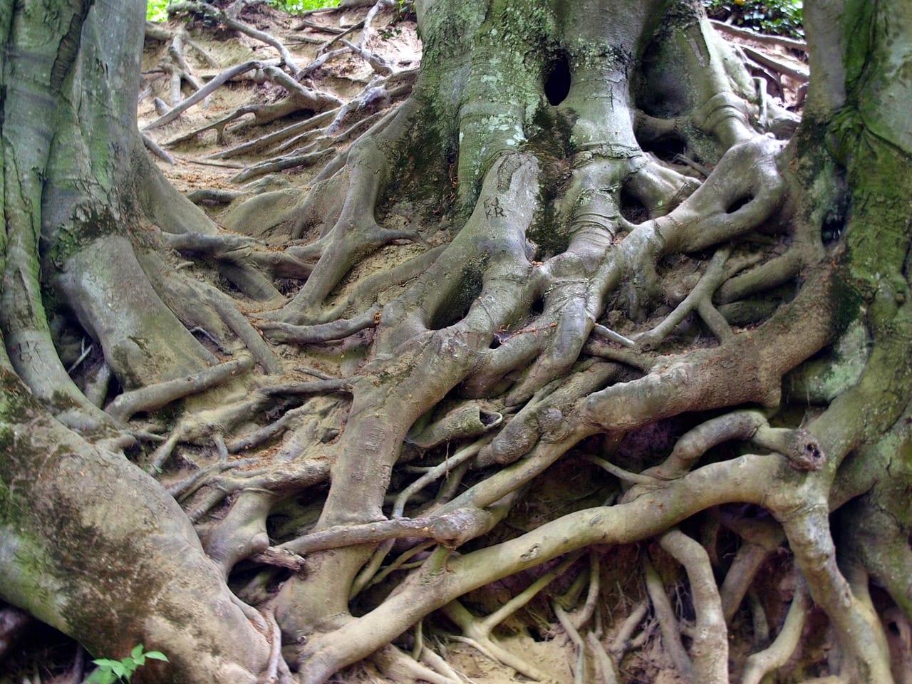 Partes de la ra z de una planta for Imagenes de las partes del arbol