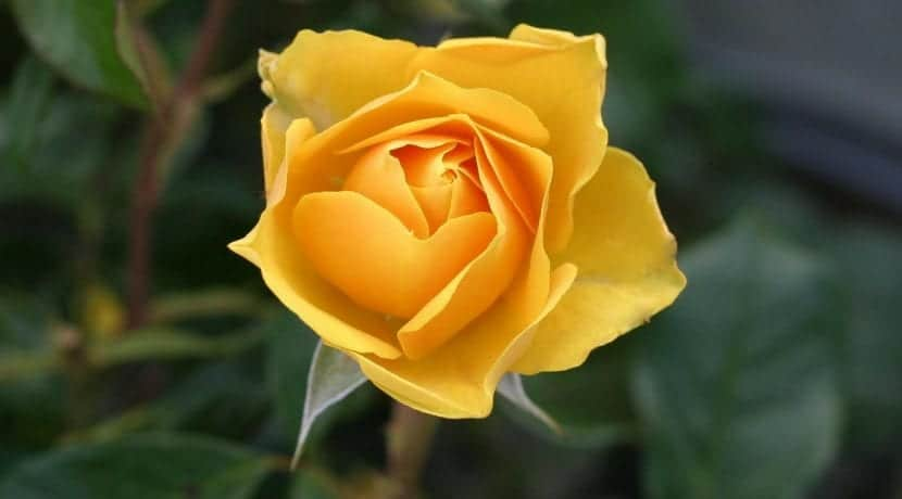 Rosa de color amarillo