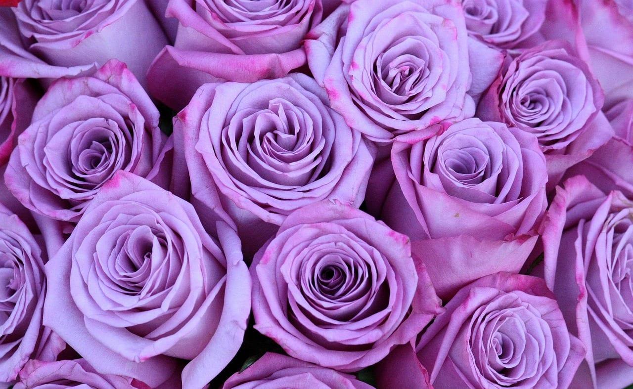 Rosa de color lila