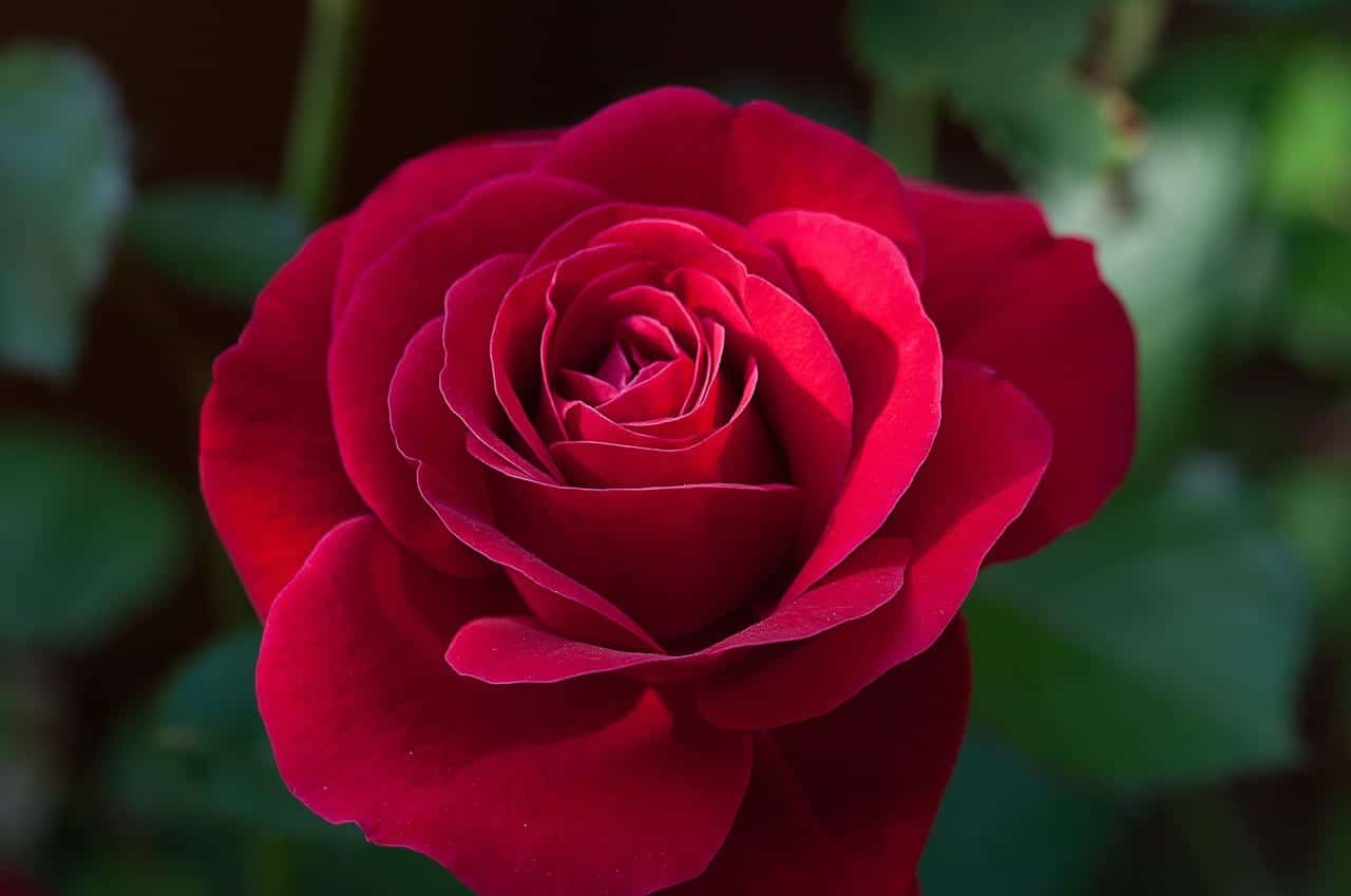 Rosa roja muy bonita