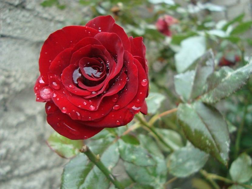 Rosa roja con agua