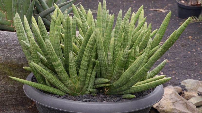 Grupo de Sansevieria cylindrica