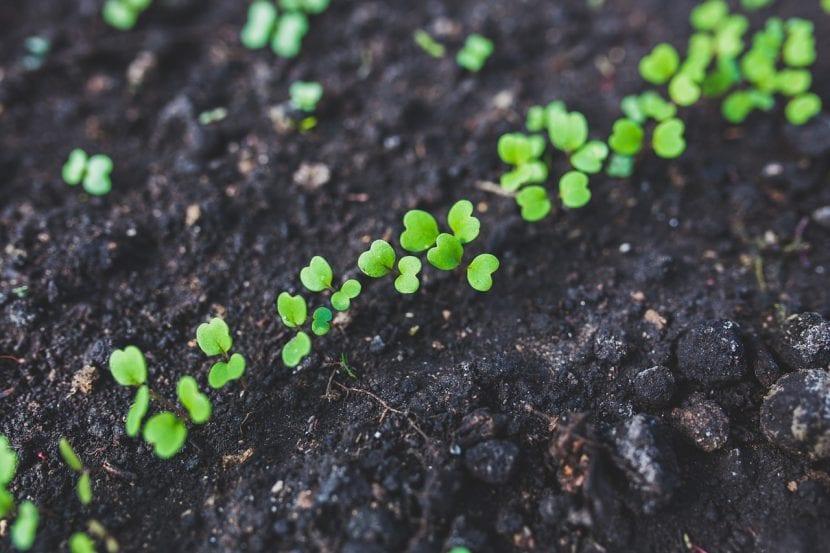 La turba negra se usa para los semilleros